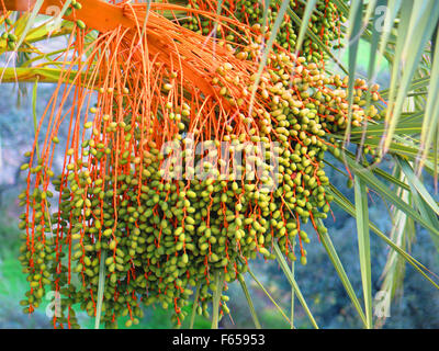 Phoenix dactylifera also known as date palm showing ripe edible sweet fruit. - Stock Photo