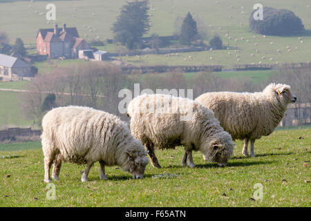 Three Poll Dorset sheep grazing on Haye's Down in South Downs National Park. West Dean, Chichester, West Sussex, - Stock Photo