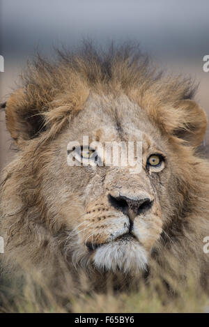 Portrait of a beautiful male lion (panthera leo) in stunning light in Moremi National Park (Khwai), Botswana - Stock Photo