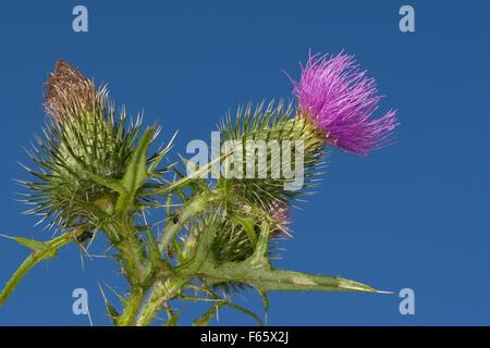 Spear Thistle, Bull Thistle, Spear-Thistle, Bull-Thistle, Gewöhnliche Kratzdistel, Distel, Cirsium vulgare, Cirsium - Stock Photo