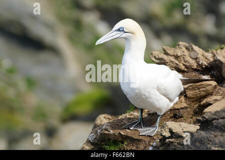 an adult northern gannet standing in profile on cliffs, Hermaness, Shetland islands, Scotland, UK - Stock Photo