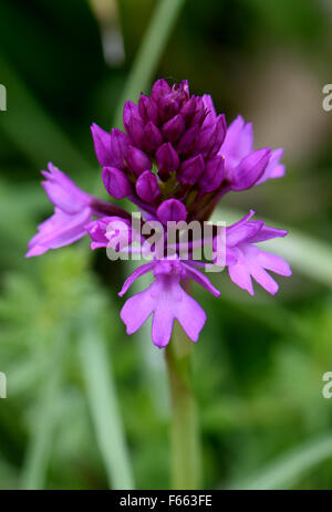 Opening flowerhead of a pyramidal orchid, Anacamptis pyramidalis, on chalk downland, Berkshire, June - Stock Photo