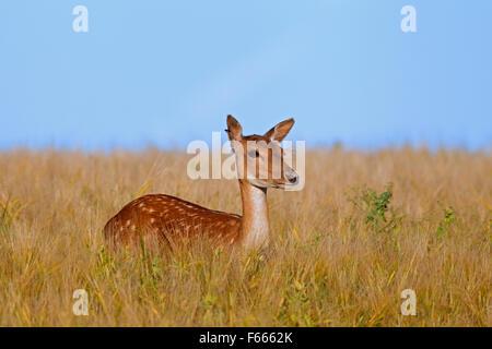 Fallow deer (Cervus dama / Dama dama) doe in wheat field in summer - Stock Photo