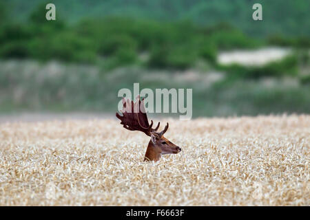 Fallow deer (Dama dama) buck with antlers covered in velvet in cornfield in summer - Stock Photo