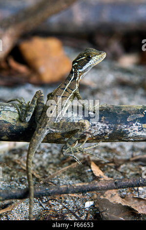 Juvenile brown basilisk / striped basilisk (Basiliscus vittatus) in swamp, Costa Rica - Stock Photo