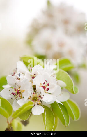 White pear abloom detail, blossoms twig macro, Pyrus tree vibrant efflorescence in April early spring season, little - Stock Photo