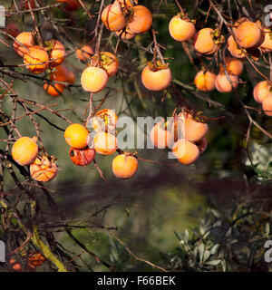 Kaki fruits on its tree branch - Stock Photo