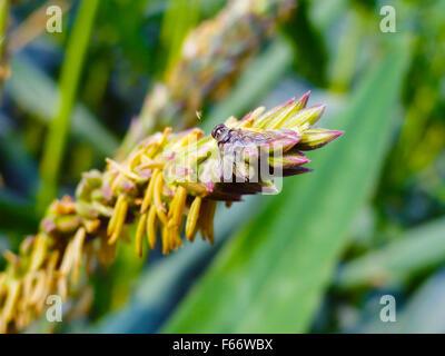 Bee Pollinating on Corn Plant - Stock Photo