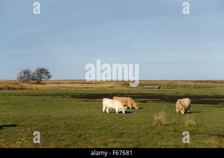 Group of charolais cattle grazing in a green marshland - Stock Photo