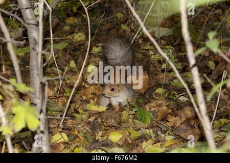 Red squirrel or Eurasian red squirrel (Sciurus vulgaris)  looking food burying it in the dry leaves, Odessa, Ukraine, - Stock Photo
