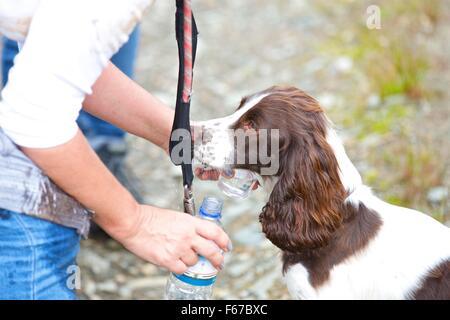 Spaniel Puppy. - Stock Photo