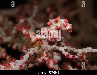 Bargibant's Pygmy Seahorse, Hippocampus bargibanti, attached to Gorgonian fan Coral. Bali, Indonesia. - Stock Photo