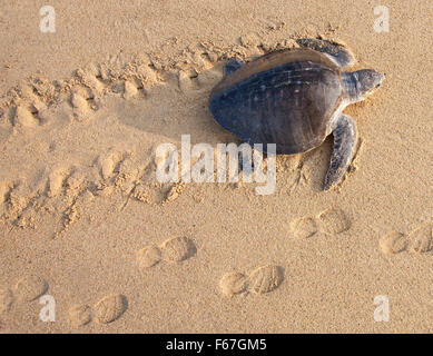 An Olive Ridley sea turtle crawls up to nest on the Ixtapilla, Michoacan, Mexico beach at sunrise. - Stock Photo