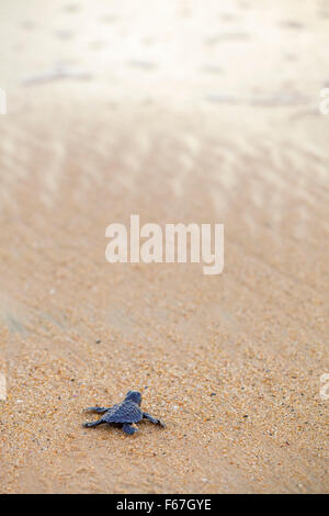 A newly born Olive Ridley turtle heads out to sea all alone for the first time, Ixtapilla, Michoacan, Mexico. - Stock Photo