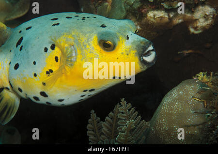 blackspotted puffer (Arothron nigropunctatus) on Coral reef in Bali Sea, Indonesia - Stock Photo