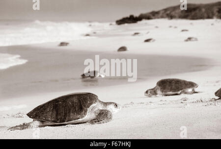 Black and white of adult Olive Ridley sea turtles arriving to lay eggs on the beach of Ixtapilla, Michoacan, Mexico. - Stock Photo