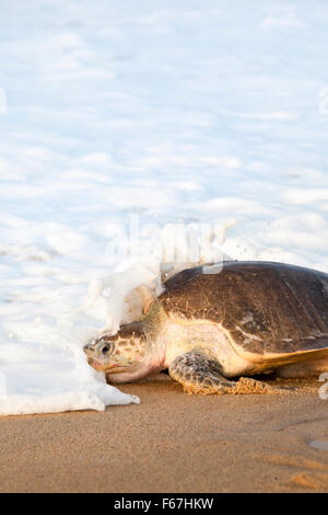 Wave breaks over an adult Olive Ridley turtle heading back to sea after laying eggs on the beach at Ixtapilla, Michoacan, - Stock Photo