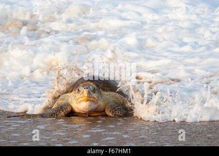 Wave breaks over an adult Olive Ridley turtle crawling ashore to lay eggs on the beach at Ixtapilla, Michoacan, - Stock Photo