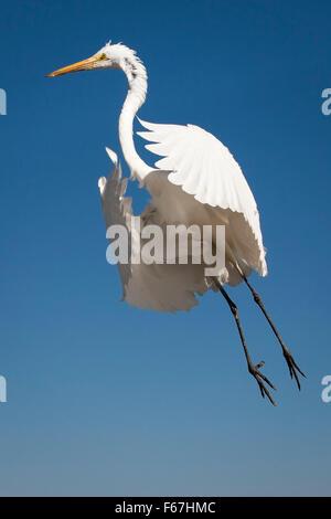 Single great egret (Ardea alba) seemingly floats on air at Lake Chapala, Mexico. - Stock Photo