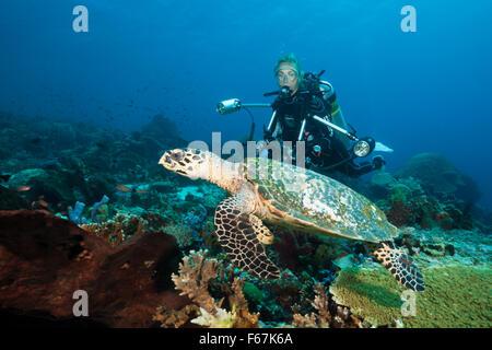 Hawksbill Sea Turtle and Scuba diver, Eretmochelys imbricata, Komodo National Park, Indonesia - Stock Photo