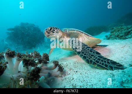 Green Sea Turtle, Chelonia mydas, Komodo National Park, Indonesia - Stock Photo