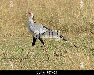 Secretary bird in the bush - Stock Photo