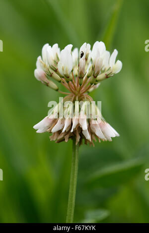 A single white clover flower, Trifolium repens, a nitrogen fixation forage plant with grass and companion plant - Stock Photo