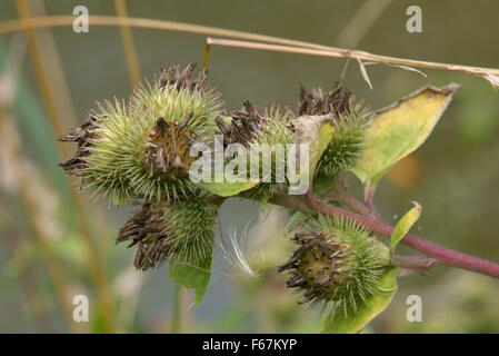 Seedhead of burdock, Arctium minus, sticky velcro type hairs after flowering, Berkshire, August - Stock Photo