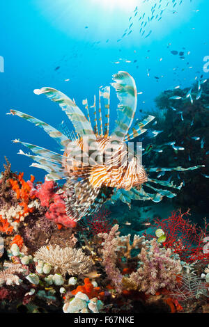 Lionfish in Coral Reef, Pterois volitans, Komodo National Park, Indonesia - Stock Photo