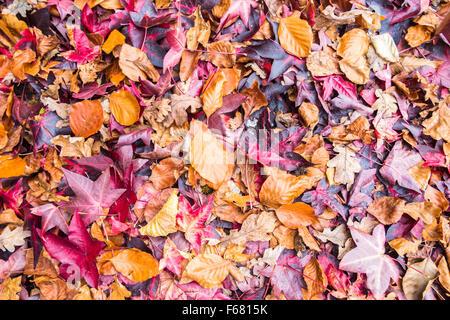 Carpet of fallen liquidambar (Liquidambar styraciflua) and beech (Fagus sylvatica) leaves in autumn, England - Stock Photo