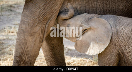 A baby elephant is drinking from his mothers milk in Kenya Africa. - Stock Photo