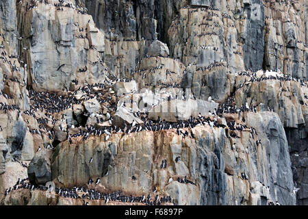 Alkefjellet bird cliffs, inhabited by Thick-billed Murres or Brünnich's Guillemots, Hinlopenstretet, Spitsbergen - Stock Photo
