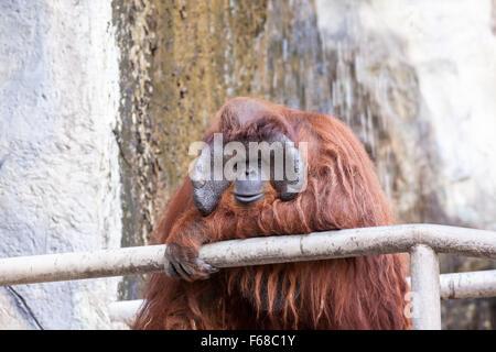 on an concrete walkway is an orangutan in close up - Stock Photo