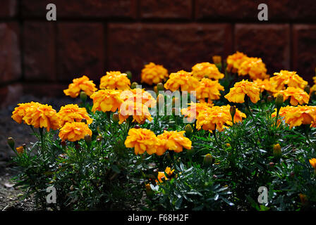 Yellow-orange marigold flowers, sparkling in a flowerbed on a bright Sunny summer day. - Stock Photo