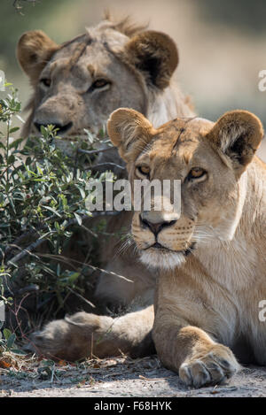 Male and female lion looking for prey. They were watching elephants drinking and playing in a pool. Interested in - Stock Photo