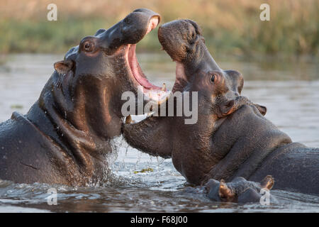 Two hippos (Hippopotamus amphibius) palying in water with small hippo watching in Moremi National Park, Botswana - Stock Photo
