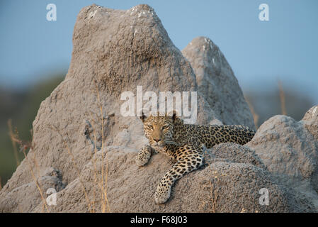 Beautiful female leopard (panthera pardus) relaxing on termite mound in Moremi NP (Khwai), Botswana - Stock Photo