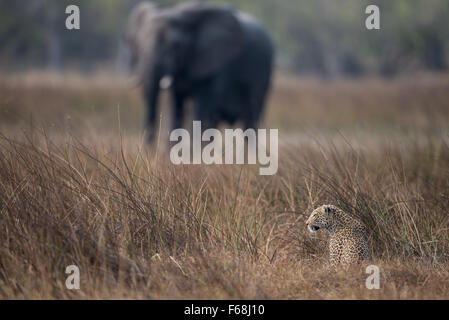 Leopard in high grass with elephant in background in Moremi National park, Botswana - Stock Photo