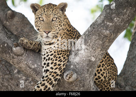 Male leopard (panthera pardus) resting in sausage tree in Moremi National Park (2nd bridge), Botswana - Stock Photo