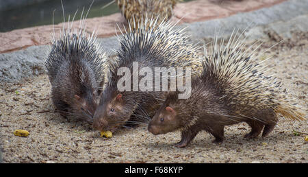 Three porcupines eating one banana - Stock Photo