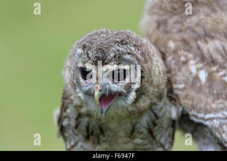 Junger Waldkauz, Strix aluco, Young Tawny Owl - Stock Photo