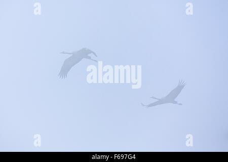 Common Crane (Grus grus) pair in flight. Agamon Hula. Hula Valley. Israel. - Stock Photo