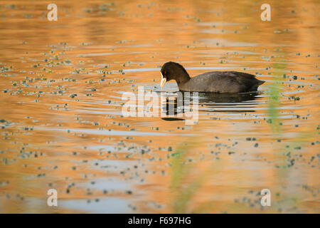 Common Coot (Fulica atra) feeding on water. Hula Nature Reserve. Hula Valley. Israel. - Stock Photo