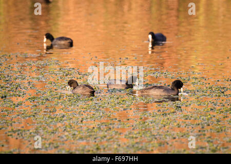 Common Coot (Fulica atra) group feeding on water. Hula Nature Reserve. Hula Valley. Israel. - Stock Photo