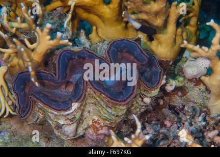Tridacna maxima, Large Giant Clam, Bivalvia, Mollusca, Sharm el-Sheikh, Egypt - Stock Photo