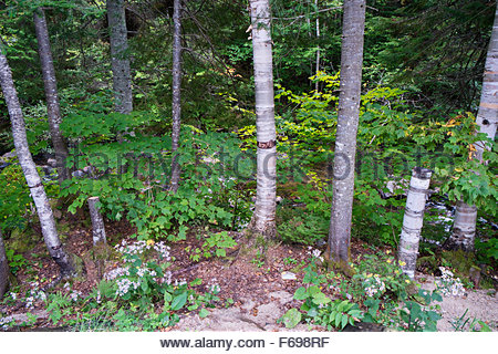 Forest Scene, Baie-des-Rochers / Charlevoix, Quebec, Canada - Stock Photo