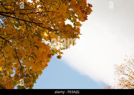 View looking up at a beautiful old sugar maple tree in autumn in New England. - Stock Photo