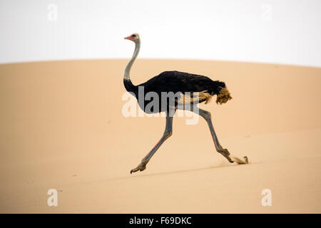 Ostrich running across sand dunes at Sandwich Harbor, Namibia, Africa - Stock Photo