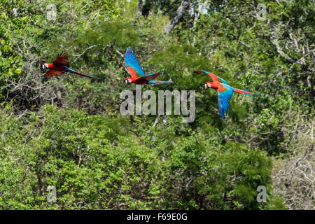 Three Red and green macays flying over the crater floor, Buraco das Araras, Mato Grosso, Brazil - Stock Photo