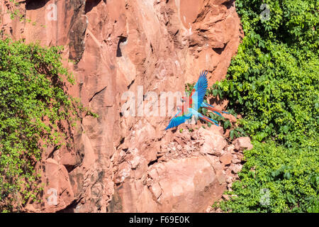 Cliffs of Buraco das Araras with Red and green macaws flying in synchrony, Mato Grosso, Brazil - Stock Photo